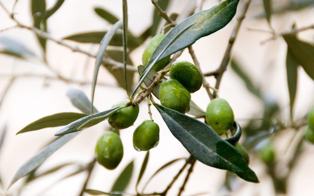 El aceite de oliva español, de cerca.